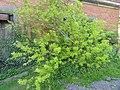 Caragana arborescens - Copenhagen Botanical Garden - DSC08062.JPG