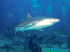Carcharhinus perezi bahamas2.jpg