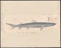 Carcharias acutidens - 1700-1880 - Print - Iconographia Zoologica - Special Collections University of Amsterdam - UBA01 IZ14100015.tif