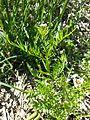 Cardamine parviflora sl8.jpg