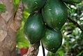 Carica papaya 19zz.jpg