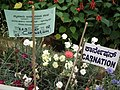 Carnation from Lalbagh flower show Aug 2013 8090.JPG