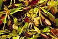Carnivorous Plant venus flytrap FF2009 11 06.JPG