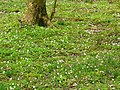 Carpet of wood sorrel in Dicksmoss Wood - geograph.org.uk - 791461.jpg