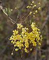 Cassia fistula (Amaltas) in Hyderabad W IMG 7501.jpg