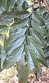 Castanospermum australe 03.JPG