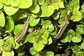 Caterpillars 2 & 3 (BG) (13348687735).jpg