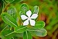 Catharanthus roseus in Ko Lanta.jpg