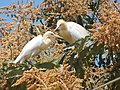 Cattle egret on a mango tree.jpg