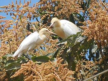 Cattle egret on a mango tree.jpg