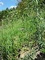 Caucalis platycarpos subsp. platycarpos sl28.jpg