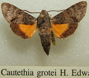 Cautethia grotei, Präparat