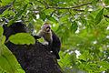 Cebus capucinus (La Selva, Heredia, CR).jpg