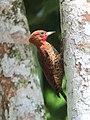 Celeus loricatus Carpintero canelo Cinnamon Woodpecker (male) (12220045843).jpg