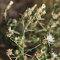 Centaurea diffusa 1.jpg