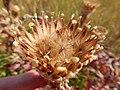 Centaurea macrocephala (28723269934).jpg