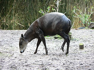 Yellow-backed duiker - C. s. silvicultor at the Disney's Animal Kingdom
