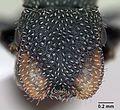 Cephalotes fiebrigi casent0173679 head 1.jpg