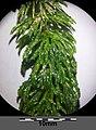 Ceratophyllum demersum s. str. sl1.jpg