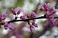 Cercis canadensis 30zz.jpg
