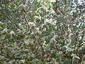 Cercocarpus minutiflorus 2c.JPG