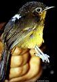 Cercomacra parkeri (Parker's Antbird) (7171434918).jpg