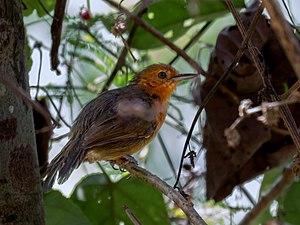 Riparian antbird - A female riparian antbird at Rio Branco, Acre, Brazil