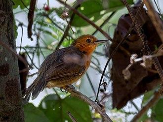 Riparian antbird - female at Rio Branco, Acre, Brazil