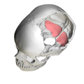 Cerebellar fossa of occipital bone05.png