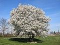 Cerisier sauvage à l'hôpital de Belnay.jpg