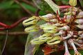 Ceropegia vincifolia - Ceropegia (5039453148).jpg