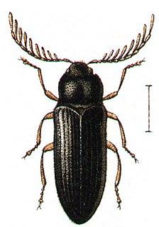 Cerophytidae Family of beetles