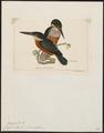 Ceryle inda - 1820-1863 - Print - Iconographia Zoologica - Special Collections University of Amsterdam - UBA01 IZ16800277.tif