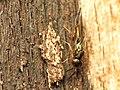 Chalcid Wasp (34396557416).jpg