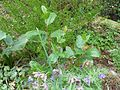 Chamaemespilus alpinus (aka Sorbus chamaemespilus)) - Flickr - peganum.jpg
