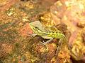 Chameleon 02.JPG