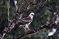 Changeable hawk-eagle (Nisaetus cirrhatus) - 97.jpg