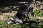 Chapultepec Zoo - Canadian wolf (02).jpg