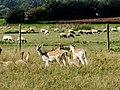Charlecote Park Deer Sunctuary - panoramio (4).jpg