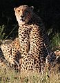 Cheetah, Acinonyx jubatus, at Pilanesberg National Park, Northwest Province, South Africa. (26975994064).jpg