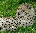 Cheetah (Acinonyx jubatus) captive male ... (50099931231).jpg