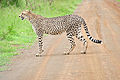 Cheetah (Acinonyx jubatus) on the road (16509940256).jpg