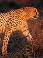 Cheetah Umfolozi.jpg