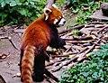 Chengdu Chengdu Panda Reserve Base Kleine Pandas 05.jpg