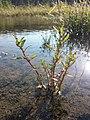 Chenopodium glaucum sl39.jpg