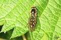 Chequered hoverfly @ SU897797 (BWNC) (14142715453).jpg