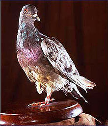 Encounter With Pigeon On Military Ridge >> Columbidae Wikipedia