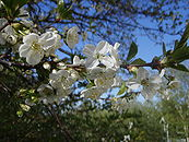 Cherry tree flower 3.JPG