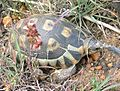 Chersina angulata Angulate Tortoise Cape Town 4.jpg