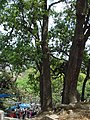 Chialune trees in Kathmandu.JPG